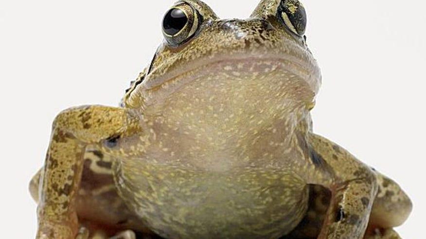 bullfrog_istock.jpg