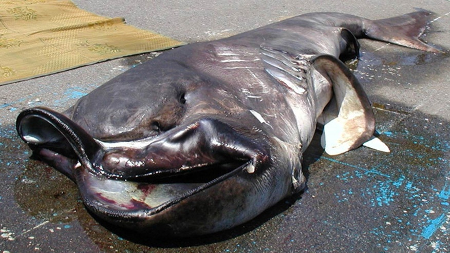 Rare megamouth shark caught off Japan
