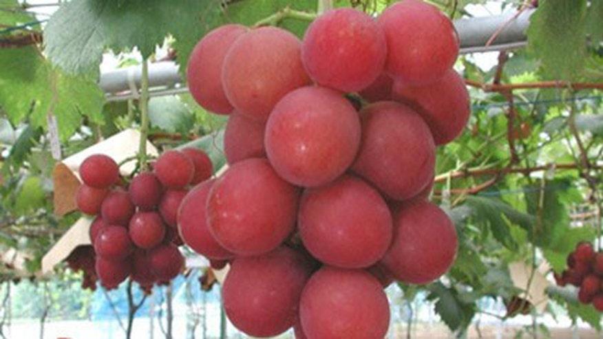 ruby_roman_grapes.jpg
