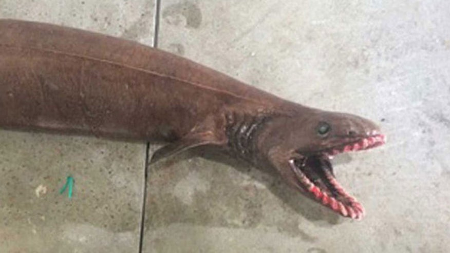 'Like a Horror Movie': Rare frilled shark caught off Australia
