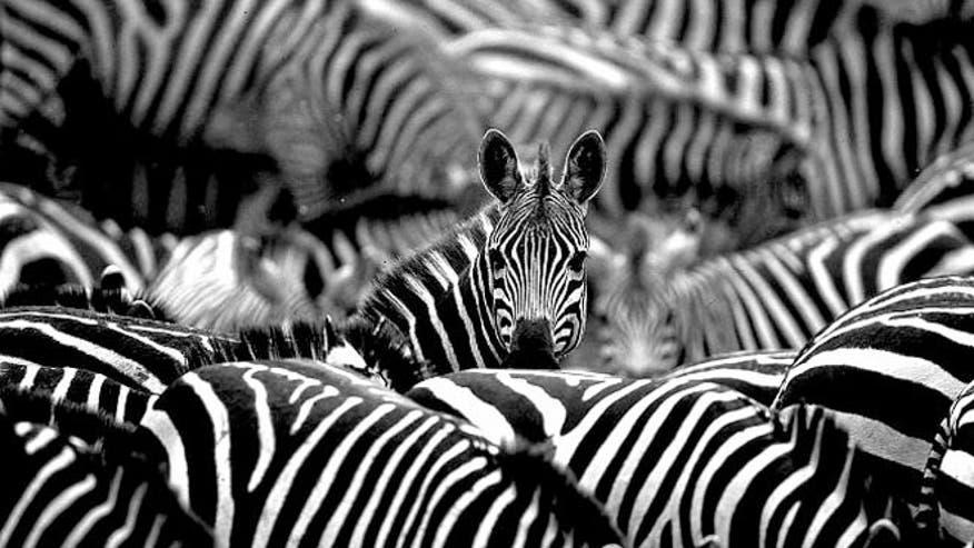 zebra_ap.jpg