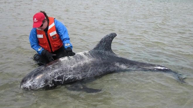 Dolphin stranded on sandbar rescued off south shore of Long Island