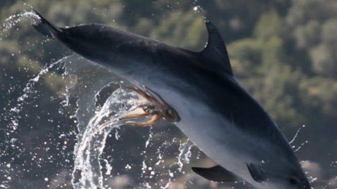 dolphin-octopus