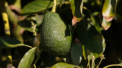 Florida's avocados are under attack, and the culprit is the invasive redbay ambrosia beetle, which arrived from Thailand  years ago in a shipmentof wood pallets to Georgia, and the fungus the beetle carries.