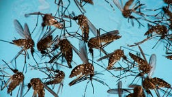 The county is the only area in the continental U.S. where mosquitoes have been spreading the virus since the summer. Testing is recommended for pregnant women who lived in - or visited - Miami-Dade since August , whether or not they have symptoms.