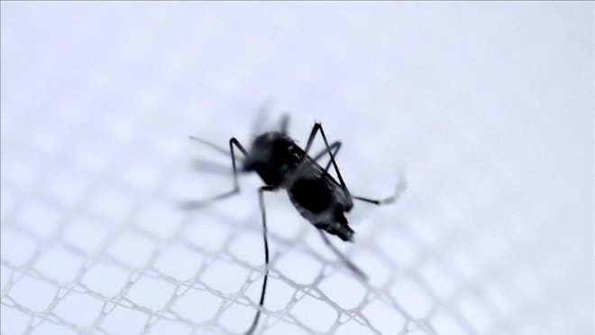 mosquitos dengue