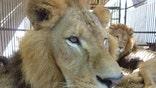 Bolivia Lions Two.jpg
