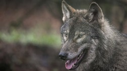 A couple in Spain have started an online petition after registry officials refused to let them call their newborn son the Spanish word for Wolf.