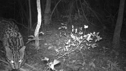 Researchers, who found the ocelot by chance while monitoring giant anteaters successfully reintroduced to Ibera, hope that the cat caught on camera is not the only one in the area.
