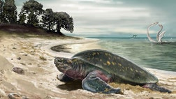 Desmatochelys padillai, which was first discovered in Colombia in the s, has been found to be the oldest sea turtle on record at  million years old.