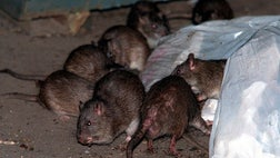 Pity the poor rats of the Spanish town of El Puig, which has celebrated a Battle of the Rats festival for centuries.