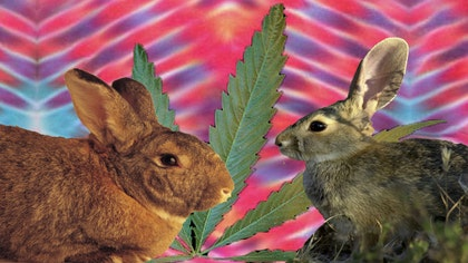 One Drug Enforcement Administration agent in Utah is worried that if the state passes a bill permitting patients with certain debilitating conditions to be treated with edible forms of marijuana that the state's wildlife may develop taste for the plant and basically turn into the rabbit-versions of Cheech and Chong.