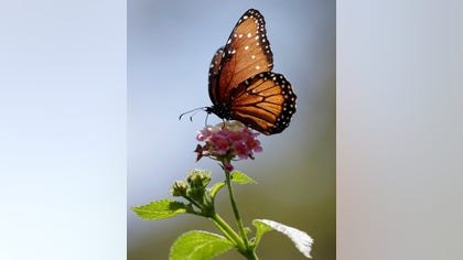 Monarch butterflies have begun entering Mexico on their annual migration from the United States and Canada.
