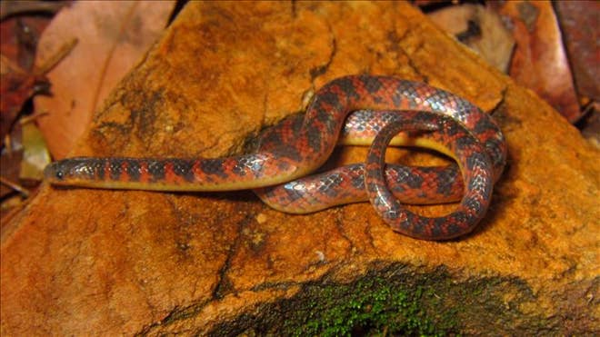 New Species of Snake Discovered In Brazil