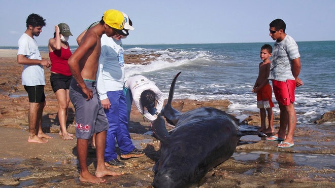 Brazil Beaches People Brazil Beached Dolphi Garc Jpg