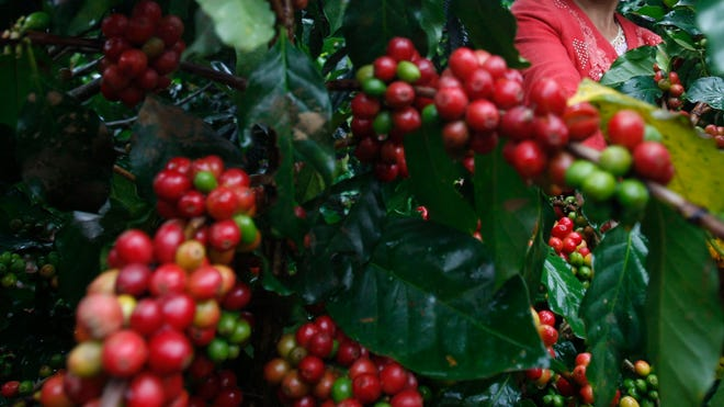 Coffee Harvest.jpg