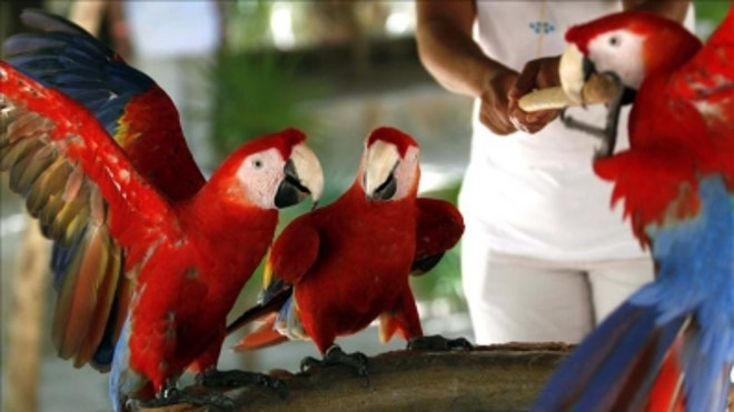 Mexican Parrots Macaws Guinness