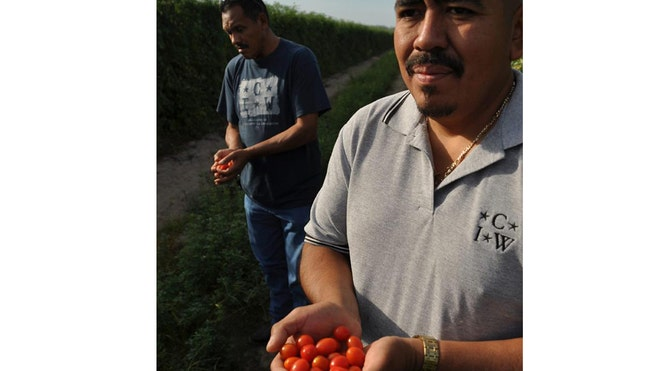 mexican farmworkers latino crop.jpg