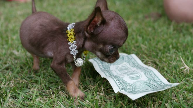 Milly A Puerto Rican Chihuahua Has Been Announced By Guinness World Records  As The Worlds Smallest Dog When Measured By Height Milly Stands A Mere 38