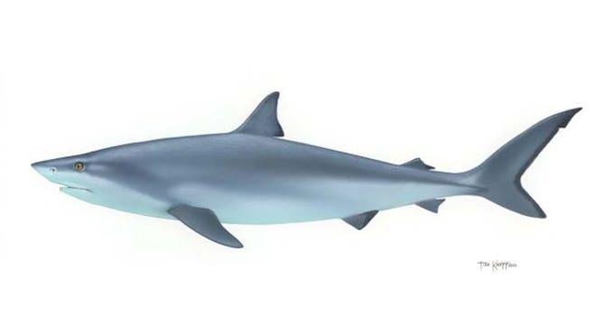 shark US Fish and Wildlife Service FNL