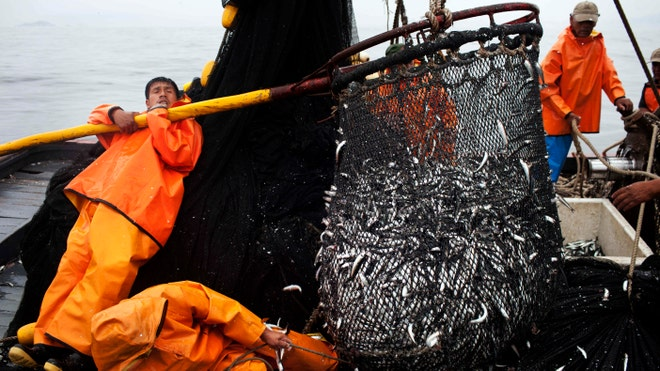 Anchovy overfishing in peru raising concerns fox news latino for What kind of fish does captain d s use