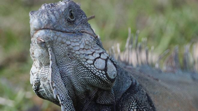 iguana_art.jpg