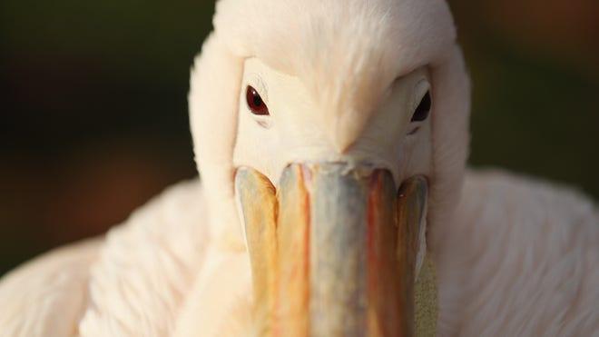pelican_art.jpg