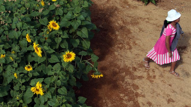 Brazil-sunflowers.jpg