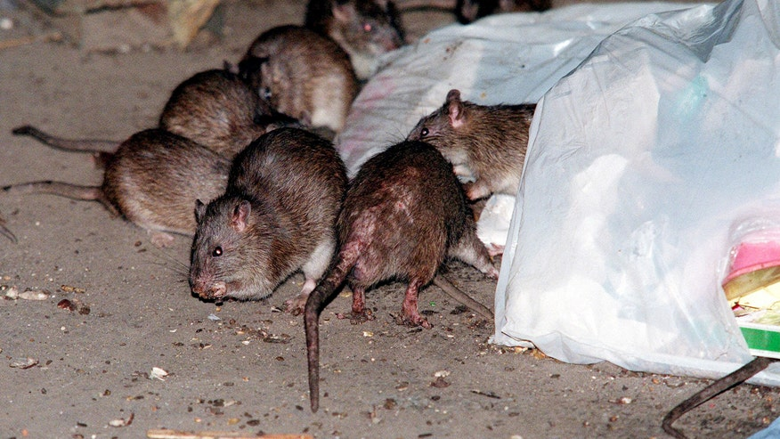 Rats swarm around a bag of garbage