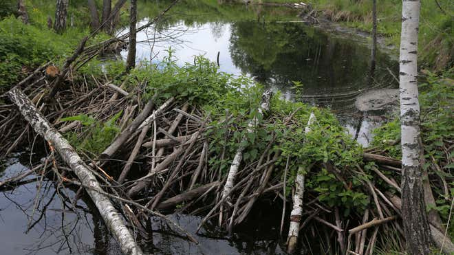 Beavers attack people in Belarus, fisherman dies of bite wounds after
