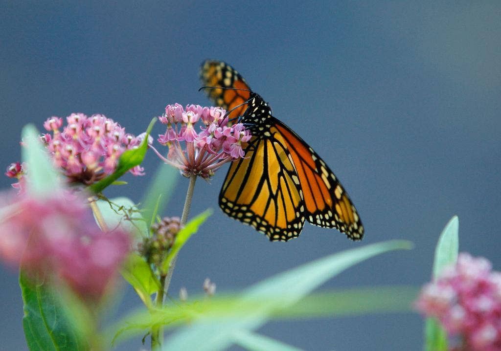 Study: Monarch butterflies may use magnetic compass for autumn migrations to central Mexico
