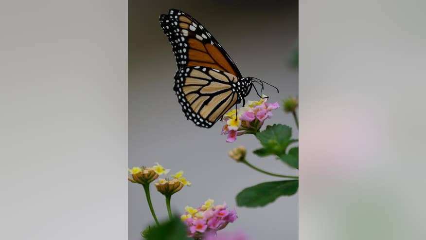 Study Monarch Butterflies May Use Magnetic Compass For