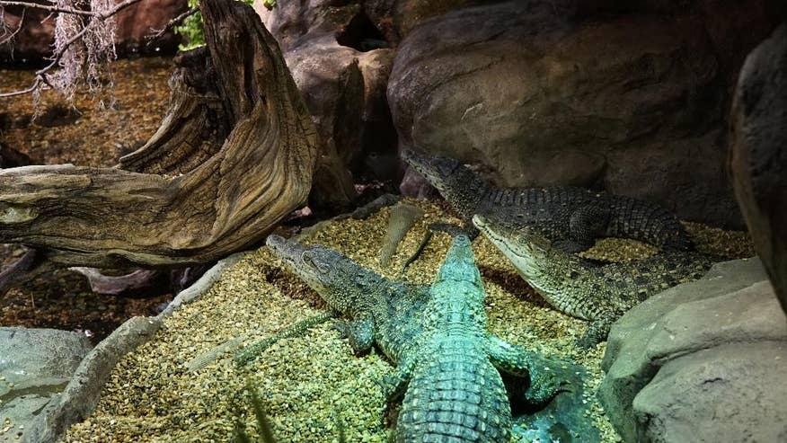 Swedish babies of cold war crocodiles head for cuba swamp for Jardin zoologico de la habana