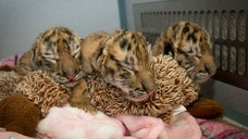 Three male Amur tiger cubs were born Tuesday (April ) at the Columbus Zoo and Aquarium in Powell, Ohio