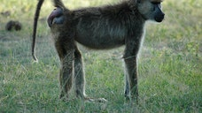 The swollen red bottom of a female baboon has long been thought to be an irresistible come-hither signal for males.