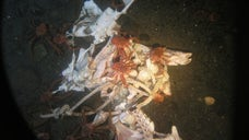 When a dead body decomposes in the ocean, scientists know little about what happens to it.