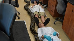 A Miami man wrangled and killed the longest-ever Burmese python to be captured in Florida, wildlife officials announced Monday, May . The -lb snake measured  feet,  inches long.