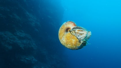 An elusive sea creature that boasts a vibrant golden shell covered in thick, slimy hair was recently spotted for the first time in  years, researchers say