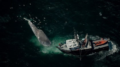 The feeding grounds of blue whales along the U.S. West Coast overlap dangerously with shipping lanes, placing the behemoths in danger of collisions with ships, researchers say.