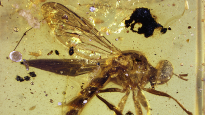 An extinct species of assassin fly that lived during the age of the dinosaurs has been discovered inside a translucent tomb of amber.