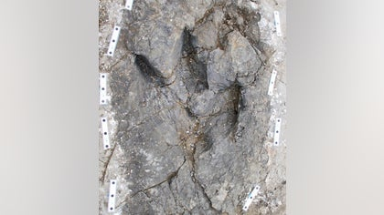 Some  million years ago, three tyrannosaurs stalked together across a mud flat in Canada, possibly searching for prey.