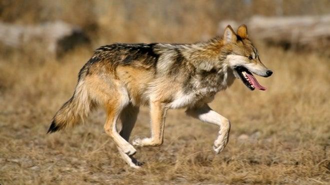 Mexican-wolfjimclarkusfws