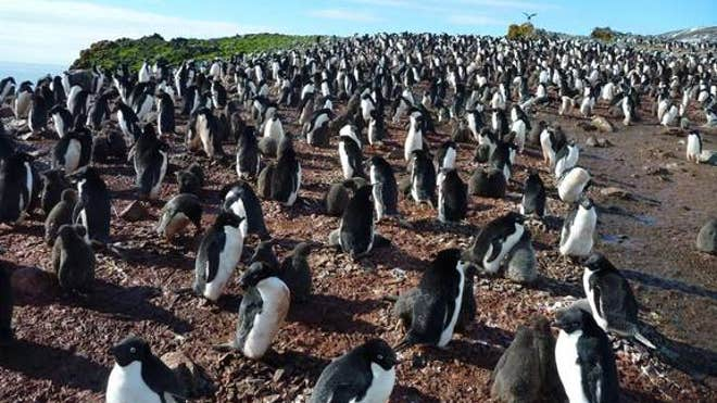 adelie-penguin-colony