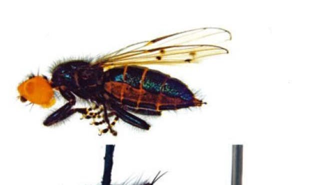 'Extinct' corpse-eating fly back from the dead