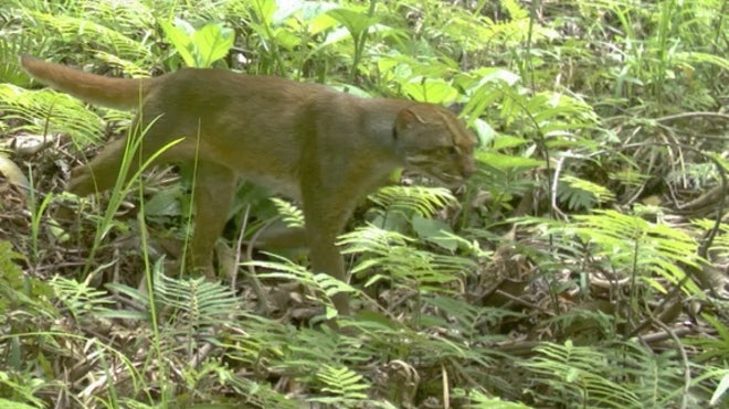 Spotted: Ultra-rare cat species captured on camera in Borneo