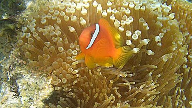 clownfish-sea-anemone