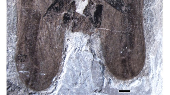 Fossil captures ancient insects having sex