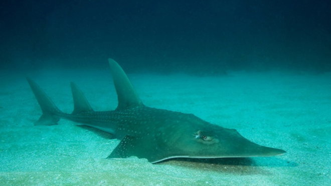 One-quarter of sharks and rays at risk of extinction