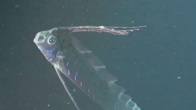 Sea serpent? Video shows 26-foot-long, deep-sea oarfish