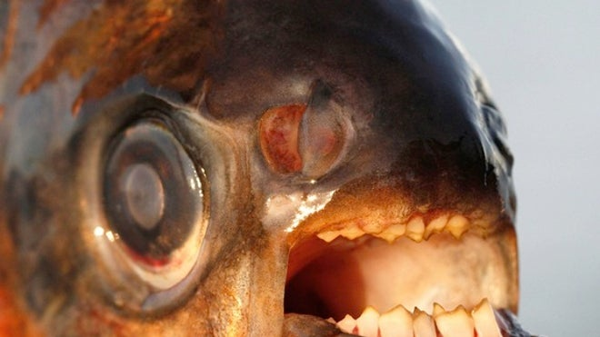 Testicle-biting fish invading Denmark, authorities warn